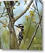 Hairy Woodpecker Metal Print by Linda Freshwaters Arndt