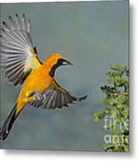 Hooded Oriole Metal Print