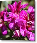 Ivy Geranium Named Contessa Purple Bicolor Metal Print