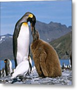 King Penguins Aptenodytes Patagonicus Metal Print by Hans Reinhard