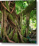 Kipahulu Banyan Tree Metal Print