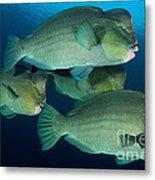 Large School Of Bumphead Parrotfish Metal Print