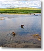 3-lay Of Land Grizzly Bears In Moraine River In Katmai National Preserve-ak Metal Print