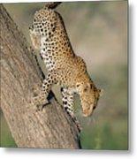 Leopard Panthera Pardus On Tree, Ndutu Metal Print