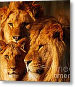 Lion Family Close Together Metal Print