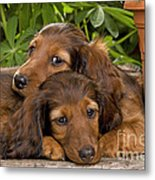 Long-haired Dachshunds Metal Print