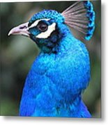 Male Peacock Metal Print