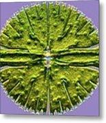 Micrasterias Desmid, Light Micrograph Metal Print
