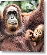 Mother And Baby Orangutan Borneo Metal Print