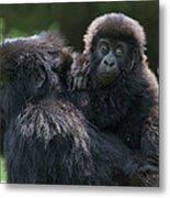 Mountain Gorilla And Infant  Metal Print