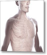 Nerves Of The Upper Body Metal Print