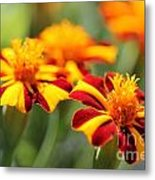 Novelty French Marigold Named Mr. Majestic Metal Print