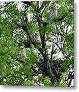 3 Owlets And Owl For Family Portrait Metal Print by Rebecca Adams