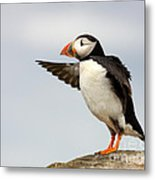 Puffin On The Farne Islands Great Britain Metal Print