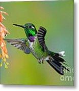 Purple-bibbed Whitetip Hummingbird Metal Print