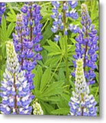 Purple Lupine Flowers Metal Print