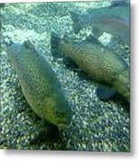 Rainbow Trout Metal Print by Les Cunliffe