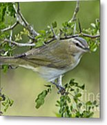 Red-eyed Vireo Metal Print