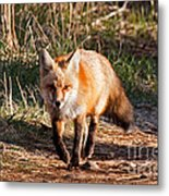 Red Fox In Prospect Park Metal Print