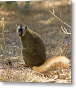 Red-fronted Brown Lemur Metal Print