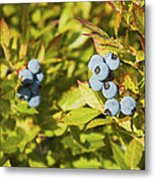 Ripe Maine Low Bush Wild Blueberries Metal Print
