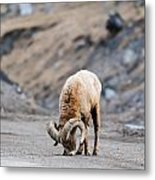 Rocky Mountain Big Horned Sheep Metal Print