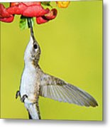 Ruby-throated Hummingbird Female Metal Print