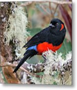 Scarlet-bellied Mountain-tanager Metal Print