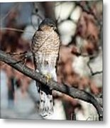 Sharp-shinned Hawk 2 Metal Print