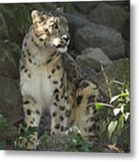 Snow Leopard On The Prowl Metal Print
