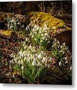 Snowdrop Woods Metal Print