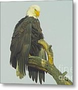 Stretching The Wings  Metal Print