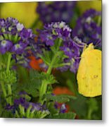 Sulphur Butterfly In The Phoebis Family Metal Print