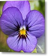 Viola Named Sorbet Blue Heaven Jump-up Metal Print
