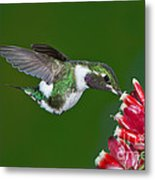 White-bellied Woodstar Metal Print