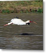 White Ibis In Flight Metal Print