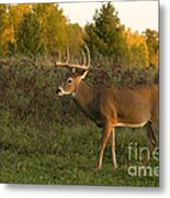White-tailed Buck In Fall Metal Print