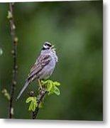 Whitecrowned Sparrow Metal Print