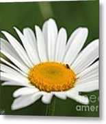 Wildflower Named Oxeye Daisy Metal Print