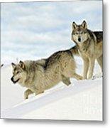 Wolves In Winter Metal Print