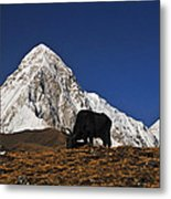 Yaks Grazing In A Himalayan Valley Metal Print