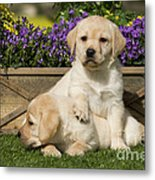 Yellow Labrador Puppies Metal Print