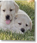 Yellow Labrador Retriever Puppies Metal Print