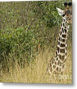 Young Giraffe In Kenya Metal Print