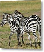 Zebra Males Fighting Metal Print