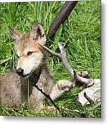 Gray Wolf Pup Metal Print