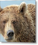 Grizzly Bears Also Called Brown Bears Metal Print