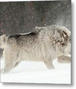 Wolf In Winter Metal Print