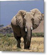 Elephant Dafrique Loxodonta Africana Metal Print