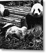 3722-panda -  Advanced Pencil Sketch Metal Print
